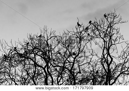 Rooks (Corvus frugilegus) roosting in tree in evening. Flock of birds in crow family (Corvidae) perched in canopy of deciduous tree black and white