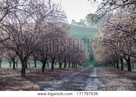 Grove of blooming almond trees at sunset time