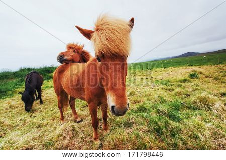 Icelandic horses in the pasture overlooking the mountains.