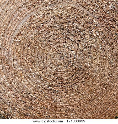 square closeup of rings of cut spruce tree trunk