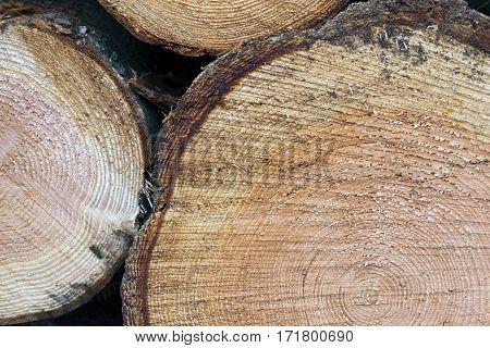 closeup of rings of cut spruce tree trunks