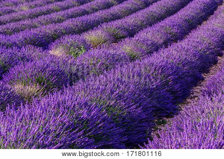 Lavender field summer landscape near Valensole. Provence France