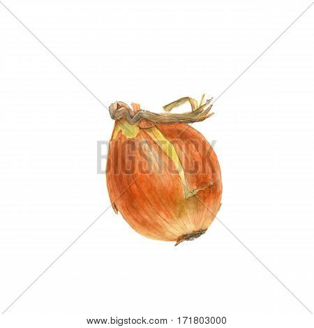 Allium cepa. Hand made Botanical watercolor illustration of yellow onion on white background. Could be used as decoration for healthy market restaurant menu cosmetics design package