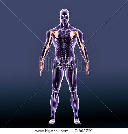 3D Illustration of Human Skeleton Scapula With Humerus Bone.