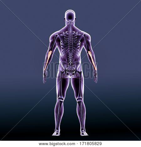 3D illustration of Ulna - Part of Human Skeleton.