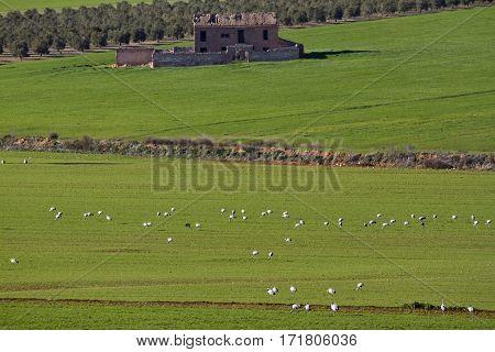White crane at field near ruins of farm