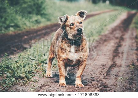 Funny Dog terrier homeless walking alone on rural road
