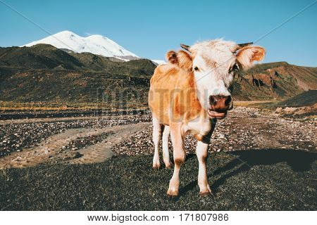 Cow looking at camera funny Farm Animal mountains on background summer pasture