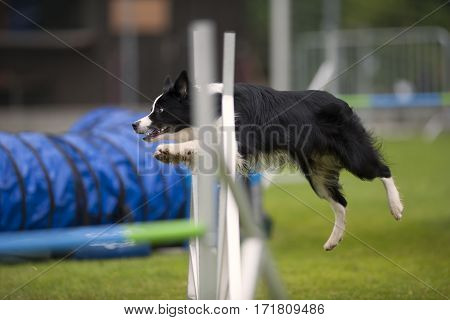 Border Collie doing turn in the air when jumping over obstacle in agility. He is well prepared in great condition for agility.