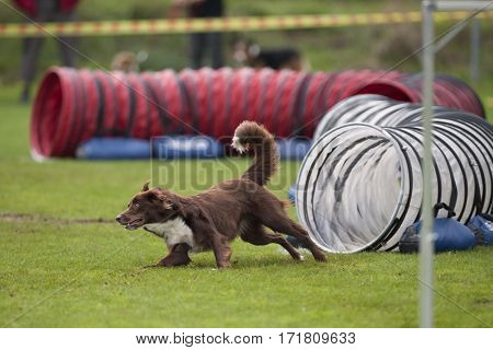 Australian Shepherd dog running fast out of tunnel in agility. He is doing a little turn to catch another agility obstacle. He is in very good condition with nice brown coat and muscular vital body.