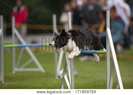 Border Collie dog jumping over obstacle on agility competition. He has very good style and speed. His jump is precise with nice distance. Dog seems happy and barks in his euphoria.