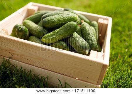 vegetable, gardening and farming concept - red cucumbers in wooden box at summer garden