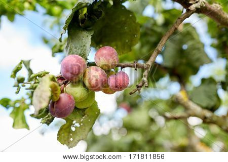 nature, botany, gardening and flora concept - close up of plum tree branch