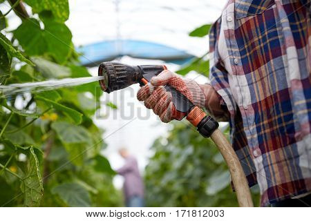 farming, gardening, agriculture and people concept - farmer with garden hose watering cucumber seedlings at farm greenhouse