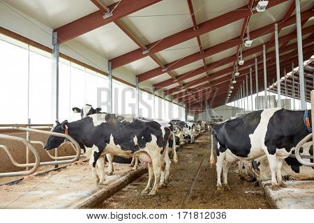 agriculture industry, farming and animal husbandry concept - herd of cows in cowshed stable on dairy farm
