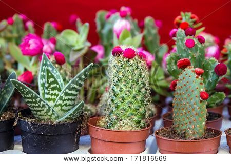 cactus blossoming flowers in flowerpot close up