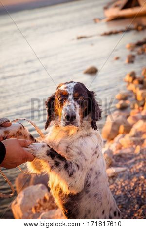 English Setter On Sea Background