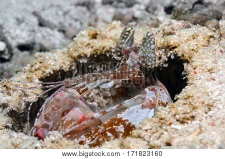 Tiger mantis shrimp is piping out from its burrow, Panglao, Philippines