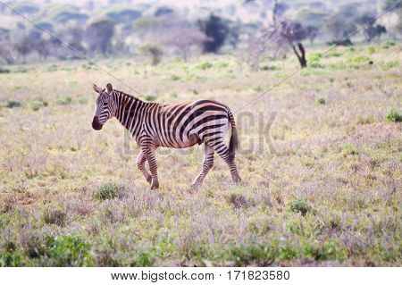 Zebra lying in the savanna of Tsavo West Park in Kenya