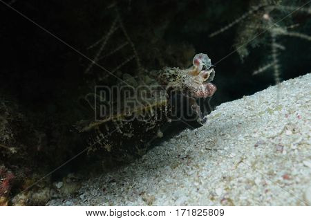 An extremely venomous flamboyant cuttlefish is crawling up a sea bottom, Panglao, Philippines