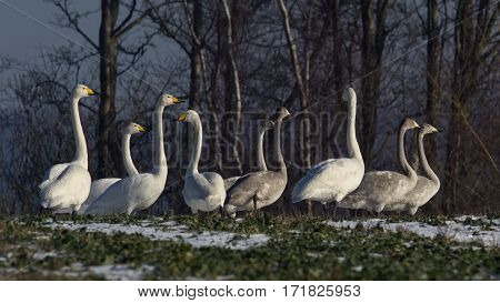Nine whooper swans, young and old in a field. ( Cygnus cygnus )