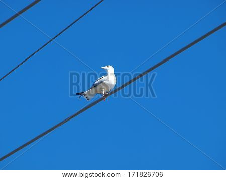 A black ring bill seagull does a high wire balancing act and watches for a red tail hawk in the area.