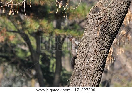 Squirrel slowly climbing at tree in the springtime