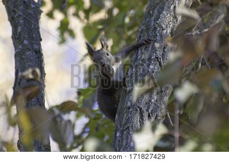 Squirrel holding a nut in his mouth and climbs up a tree