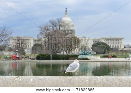 Washington DC in spring - A seagull and United States Capitol Building