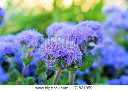 on photos of beautiful flowers in the flowerbed ageratum