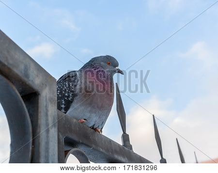 Rock pigeon sitting on a metal fence on blue sky background.