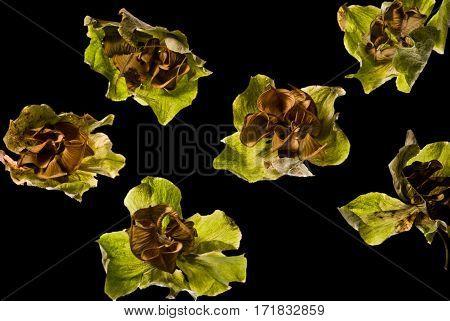Dried flowers Helleborus look like extraterrestrial life. Macro in isolation