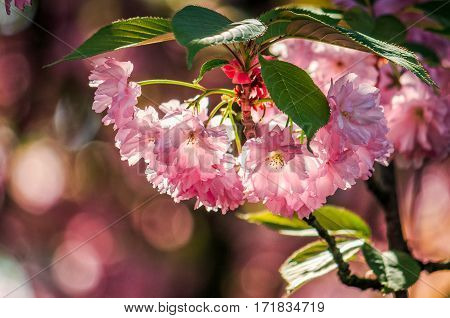 Japanese Cherry Flower Blossom In Spring