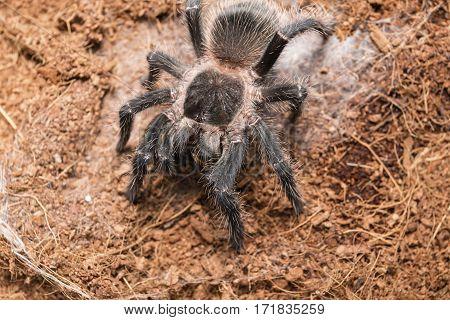 Dangerous tarantula spider in a special terrarium. Macro shot.