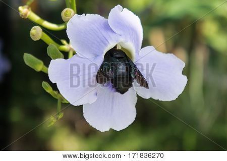 Blue Purple Flower Of Laurel Vine,thunbergia