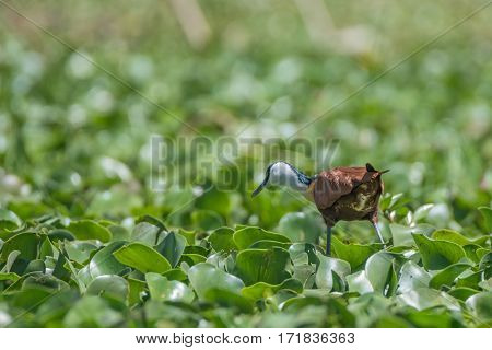 African jacana or Actophilornis africanus wading in water hyacinth