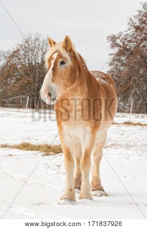 Handsome Belgian draft horse in snowy pasture on a cold, gray, winter day