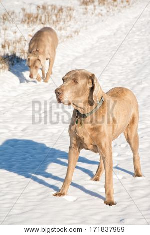 Weimaraner dog in snow, with another on the background, on a sunny, bright, winter day