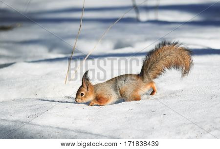 red fluffy squirrel in the snow looking for food in the winter in the woods