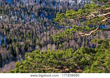 Winter mountains panorama with pine tree in front and forest lying beneath rock