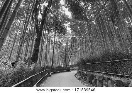 Black and White Bamboo Forest with walking way on arashiyama Kyoto Japan