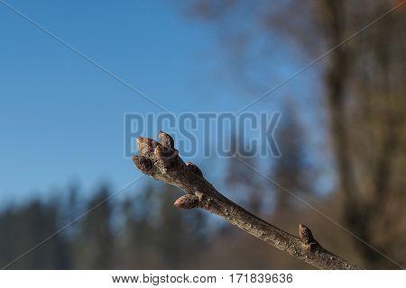 buds of the common oak (Quercus robur)