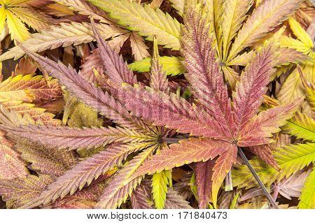 Full frame of purple and yellow cannabis / hemp leafs.