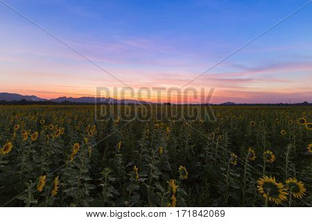 Sunflower field with beautiful after sunset sky background natural landscape background
