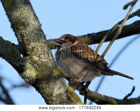 House Sparrow on a branch - Passer domesticus