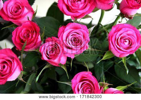 flower rose petal  pink green  botany rose bush