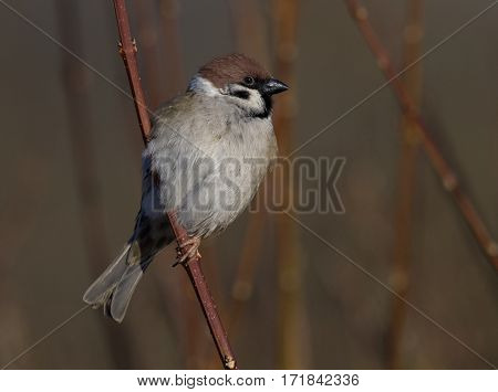 Tree Sparrow on a straw - Passer montanus