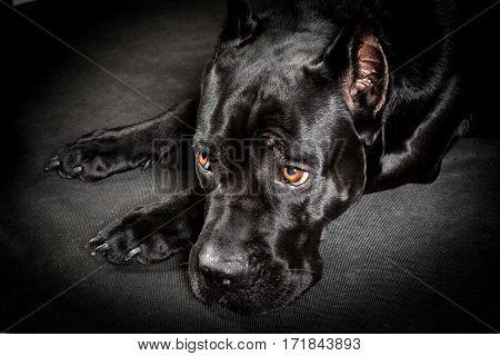 Black dog Cane corso on the black background Sad dog lying muzzle on paws.