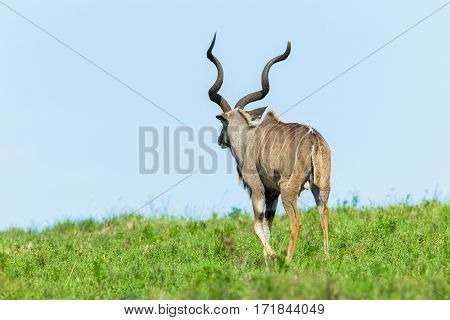 Kudu Head Horns Wildlife Animals