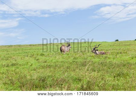 Buck Kudu bull wildlife animals grassland plateau hot summers day in wilderness safari park